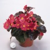 Begonia hybrida Big Bronze Red Improved
