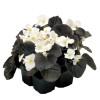 Begonia semperflorens Mascotte Bronze White