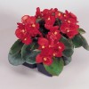 Begonia semperflorens Super Olympia Red