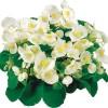 Begonia semperflorens Super Olympia White