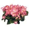 Begonia semperflorens Mascotte Bicolour Improved
