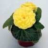 Begonia tuberosa Nonstop Yellow Improved