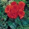 Begonia tuberosa Nonstop Orange