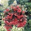 Begonia tuberosa Illumination Salmon
