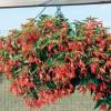Begonia boliviensis Prominent Orange