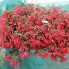 Begonia boliviensis Prominent Scarlet