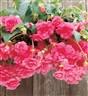 Begonia tuberosa Fountain Pink