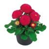 Bellis perennis Tasso Rose