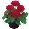 Bellis perennis Tasso Red