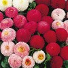 Bellis perennis Tasso Mix