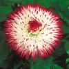 Bellis perennis Habanera White & Red Tips