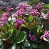 Bergenia cordifolia Rose