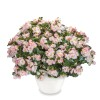 Tophat Rose Bicolour