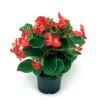 Begonia hybrida Tophat Red
