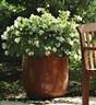 Begonia hybrida BabyWing White