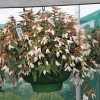 Begonia boliviensis Prominent White Improved