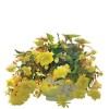 Begonia tuberosa Illumination Lemon