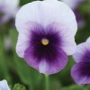 Viola cornuta Butterfly Beacon Blue