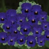Viola cornuta Butterfly Blue Blotch