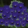 Viola cornuta Butterfly Blue Blotch