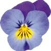 Viola cornuta Butterfly Blue Lavender