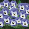 Viola cornuta Butterfly Blue White Eye