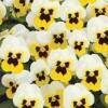 Viola cornuta Butterfly White Yellow Blotch
