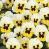 Viola cornuta Butterfly White Yellow Blotch