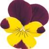 Viola cornuta Butterfly Purple Yellow