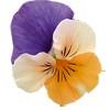 Viola cornuta Butterfly Apricot Purple