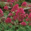 Centranthus ruber coccineus Red