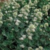 Centranthus ruber Albus White