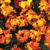 Cheiranthus cheiri Chica Early Orange