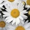 Chrysanthemum leucanthemum Madonna