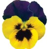 Viola wittrockiana Carrera Blue Yellow