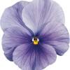 Viola wittrockiana Carrera Azure