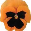 Viola wittrockiana Carrera Orange Blotch