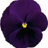 Viola wittrockiana Carrera Purple