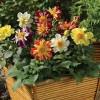 Dahlia hybrida Harlequin Mix