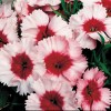 Dianthus chinensis Super Parfait Strawberry