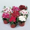 Dianthus chinensis Diana Mix