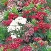 Dianthus barbatus Indian Carpet