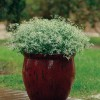 Euphorbia graminea Glitz