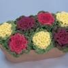 Brassica oleracea Nagoya Mix