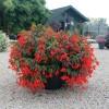 Begonia boliviensis Santa Cruz