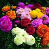 Ranunculus asiaticus Magic Mix