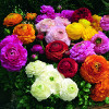 Ranunculus asiaticus Magic Mix