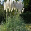 Cortaderia selloana White Feather