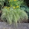 Carex comans Amazon Mist