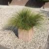Carex howardii Phoenix Green
